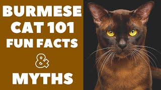 Burmese Cats 101 : Fun Facts & Myths