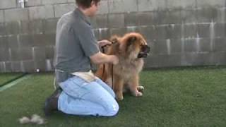 Cody - Red Chow Chow Obedience Trained And For Real Chow Lovers Needs Home