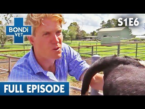 🐮 Newborn Calf   S01E06   Bondi Vet