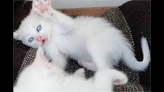 Cute white kittens playing and 'fighting'