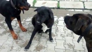 Dog Aggression After Food Fight. Rottweiler & Cane Corso