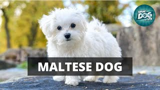 10 Guidance Tips for Maltese Dog Owners | Complete Guide For Maltese Dog Owners