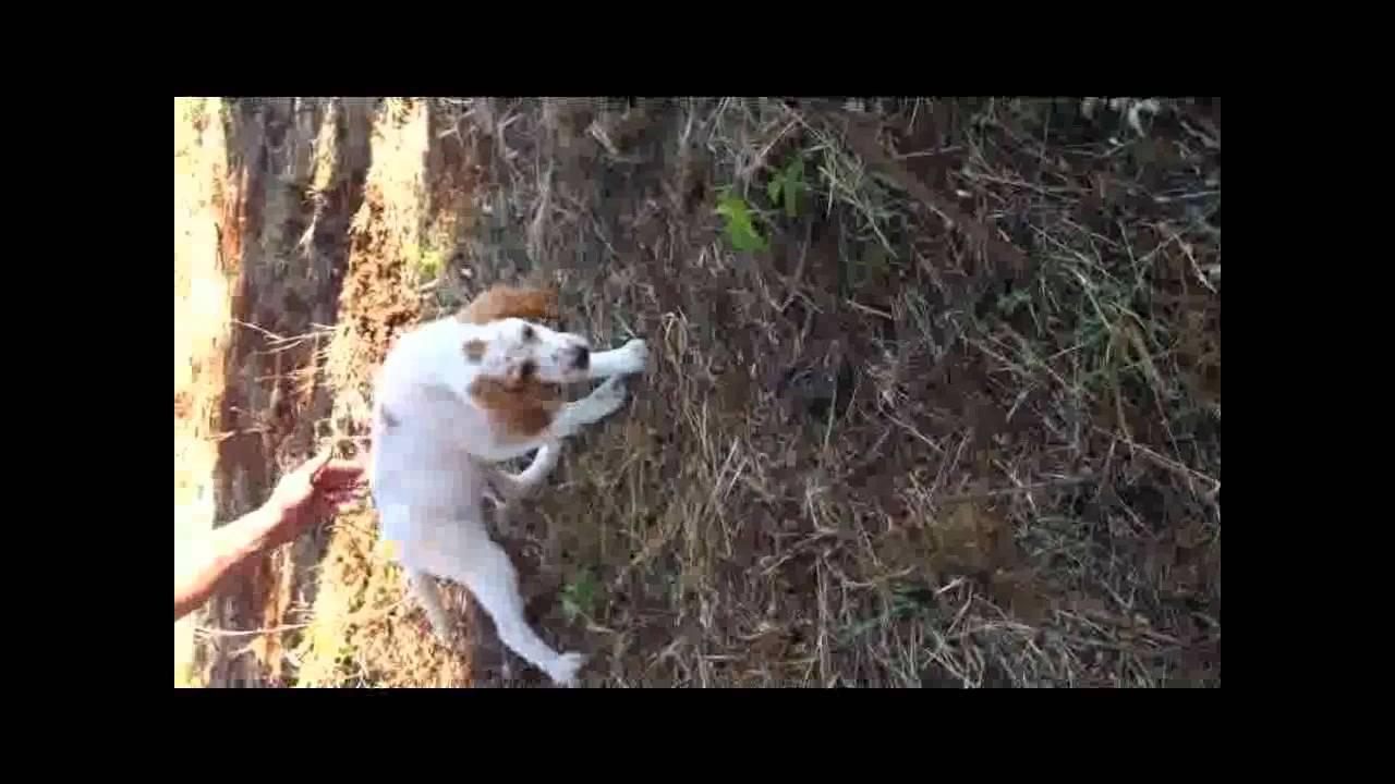 Addestramento Cani Da Caccia Cuccioli Youtube