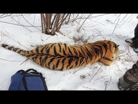 When A Man Found A Tiger Growling Outside His Door, He Immediately Called For Emergency Help.