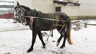 Как запрячь лошадь. Захомутали!!!Учим молодую лошадь не бояться сбруи.Расчистка копыт.