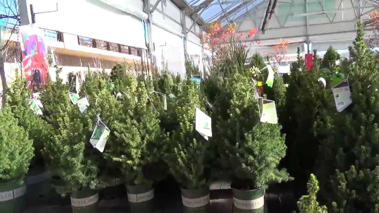 Alberta Spruce As A Living Christmas Tree