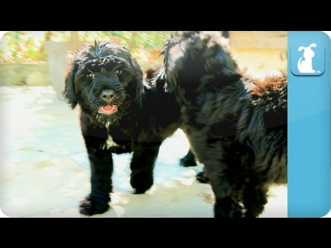 Portuguese Water Dog Puppies - Puppy Love