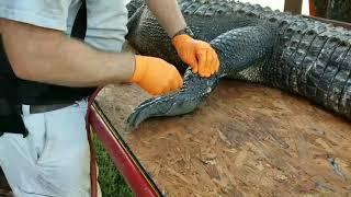 Using an air compressor to skin an alligator