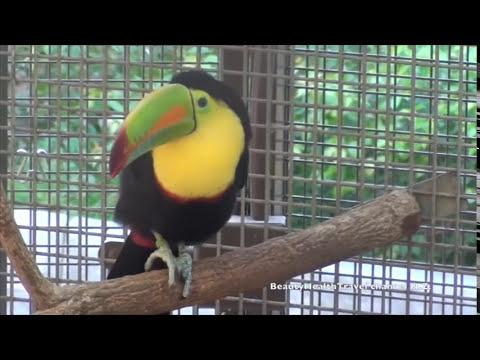 Beautiful Exotic Bird: Keel Billed Toucan