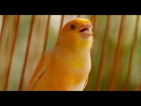 Download Lagu Burung Kenari Loper Gacor Door Juara Latpres