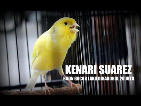 Download Lagu SUARA BURUNG : Soeharto Cup - Kenari Suarez Gacor Bandrol 20 Juta