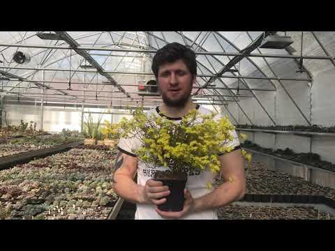 Цветение Aeonium sedifolium