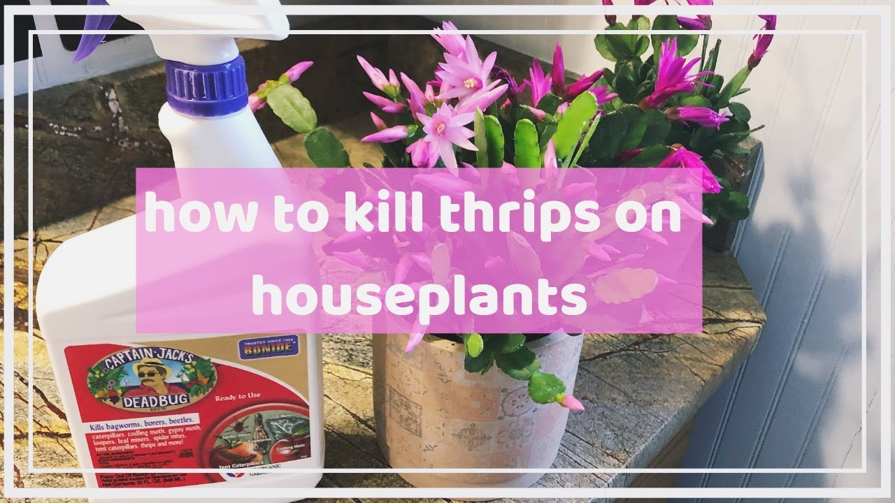 how to kill thrip pests on your houseplants ☠ | organic & non-organic pest  control