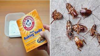 千萬別將蟑螂拍死!用這個妙招,把蟑螂全部消滅!保證你家裡的蟑螂全部消失了!安全又有效!