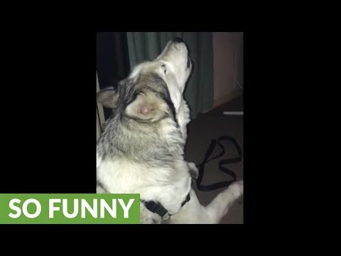 Husky hears ambulance, howls along in excitement