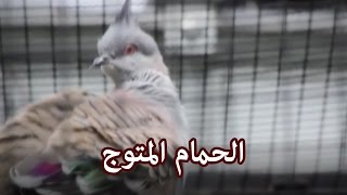 حيوانات - الحمام المتوج