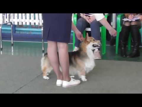 Welsh Corgi, dog show