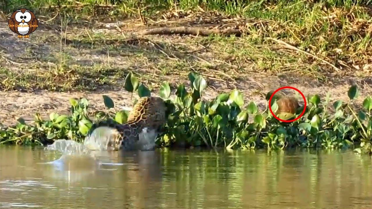 Melihat Capybara di Hadapan, Leopard Ini Malah Dibuat Kesal Bukan Main!!