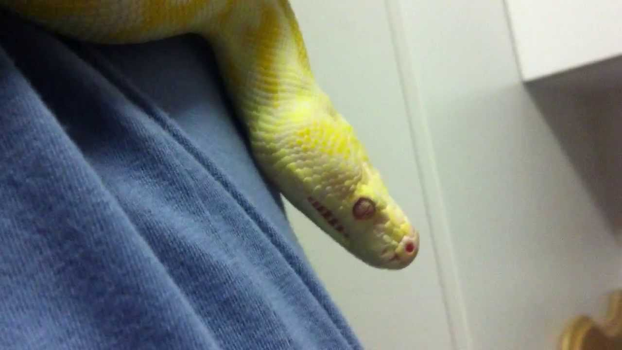 Albino Darwin Carpet Python Sgt Major Scale 25yrs New