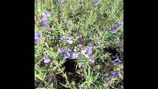 видео Пенстемон - выращивание из семян и уход