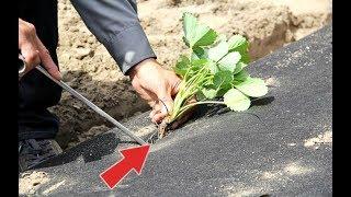 Посадите клубнику весной в апреле мае этим способом для крупных ягод! Как посадить клубнику весной?