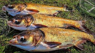 КРУПНЫЕ ТОЛСТОЛОБЫ ДУПЛЕТОМ РВУТ СНАСТИ рыбалка на толстолобика ловля толстолоба на технопланктон