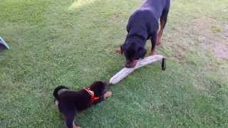 The Life Of Jake The Rottweiler