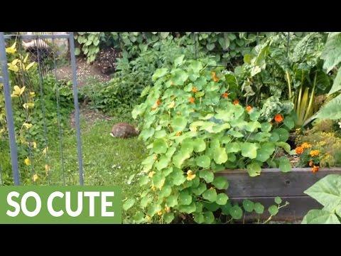 Wild rabbit makes nest in garden bed