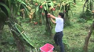 KALAWAAN A DRAGON FRUIT PLANTATION NANGRUGIN A MABURASAN