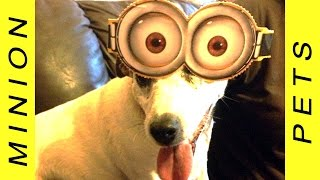 Best Of Minion Pets - Funny Dogs And Cats Wearing Minions Costumes Youtube Music Video 2015