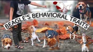 Beagle Dog's Breed (Behavior) Traits