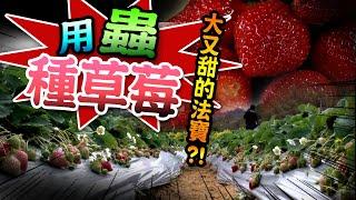 【 ★神奇!!這個草莓園滿滿是蟲!!卻又大又甜?!★用蟲種草莓?!】