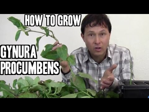 How to Grow Gynura Procumbens Medicinal Herb