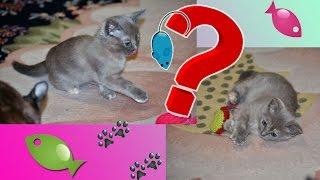 Котенок бурма выбирает игрушку ♥ котенок носится с игрушками ㋛ склад игрушек под елкой 🌲 funny cats