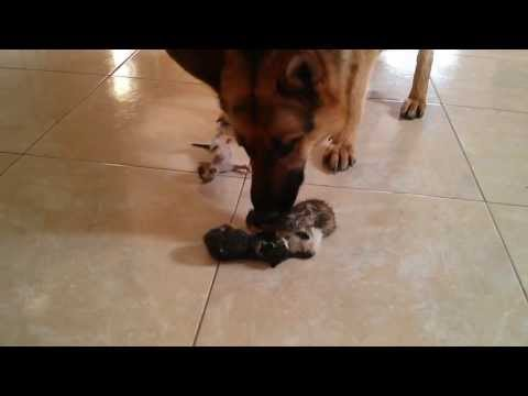 Female German Shepherd Dog meets newborn abandoned kittens (first reaction)