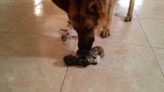 Female German Shepherd Dog Meets Newborn Abandoned Kittens (first Reaction)