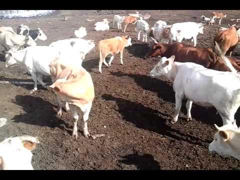 Simmental (коровы с подсосными телятами) +7 965 617 60 05 Звоните!