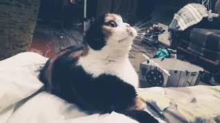Cat Planet - Шотландский овальный кот Том (Знакомс...