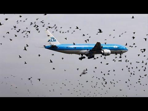 B777 KLM & BIRDS flying Together.