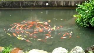 Taiwan 2011 @ Yilan: Fishes Swimming in Circles.wmv