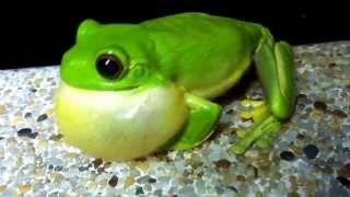 Orange Eyed Green Tree Frog Amazing Abs workout! Springbrook QLD