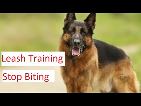 leash-training-and-stop-biting-tips---german-shepherd-dog