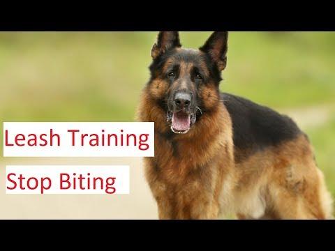 leash-training-and-stop-biting-tips---german-shepherd-dog