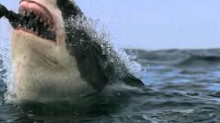 De jacht van een witte haai