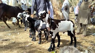 Quality Baby Goat Beetal Aur Nagra Sahiwal Bakra Mandi 2019 Latest Video 2019 Ba