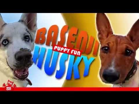 Basenji and husky. Funny game of puppies. Басенжи играет с хаски.