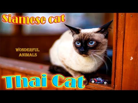 Thai Cat breathes like a dog and communicates with his master / Compilation