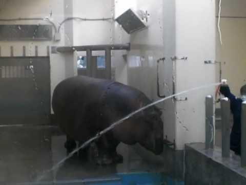 Hippo at Fukuoka city Zoo