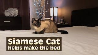 Siamese Cat helps make the bed