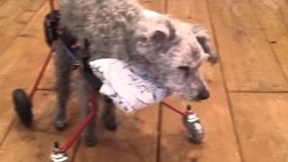 19歳のご長寿犬のゴンちゃん(^O^)少しでも歩かせてあげたり立たせてあげ...